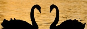 Silhouette of two swans, necks forming a heart shape